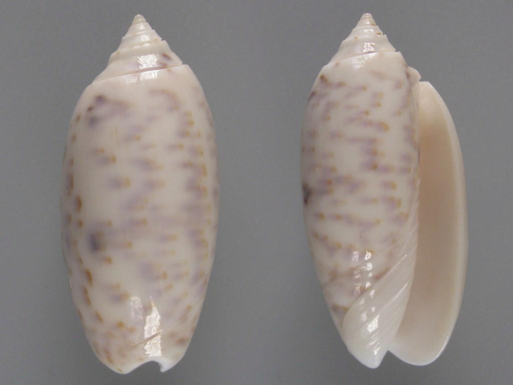 Miniaceoliva atalina (Duclos, 1835) Oliva_11