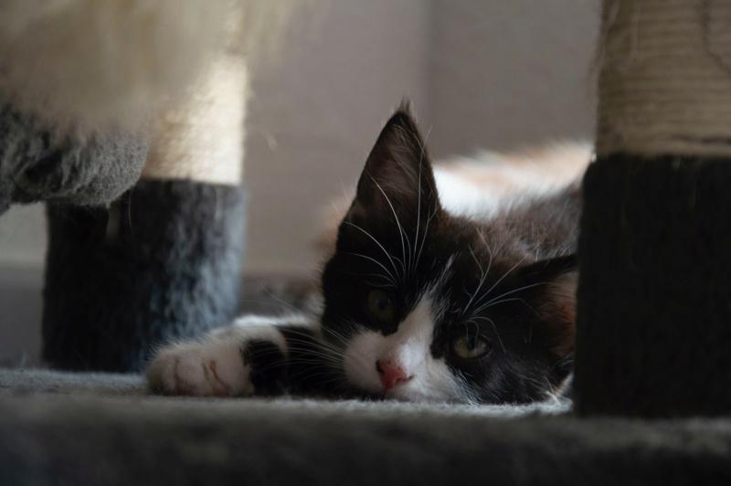 degza - DEGZA - CABRIOLE + 2 chatons Lespinet (BLACK PEARL 2 adopté) Img_0613