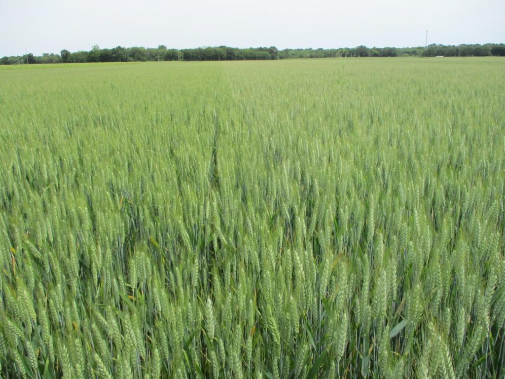 variété blé tendre 2019 - Page 2 Img_0127