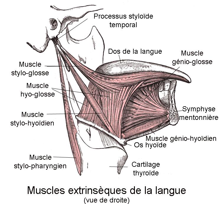 Le saviez-vous ?  - Page 10 Muscle10