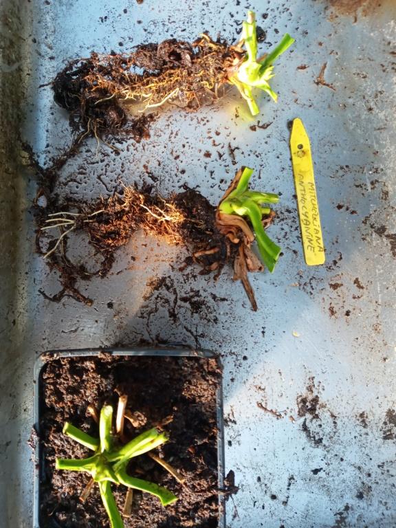 Dionaea et sarracenia a echanger 20210317