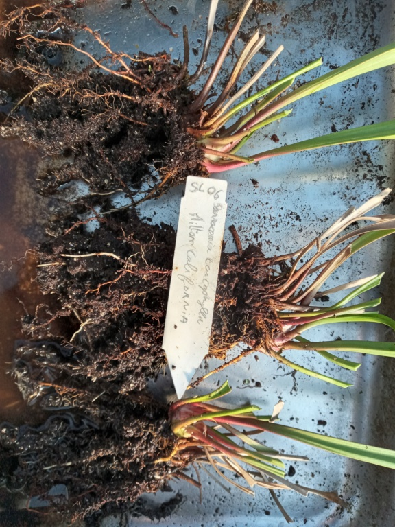 Dionaea et sarracenia a echanger 20210324