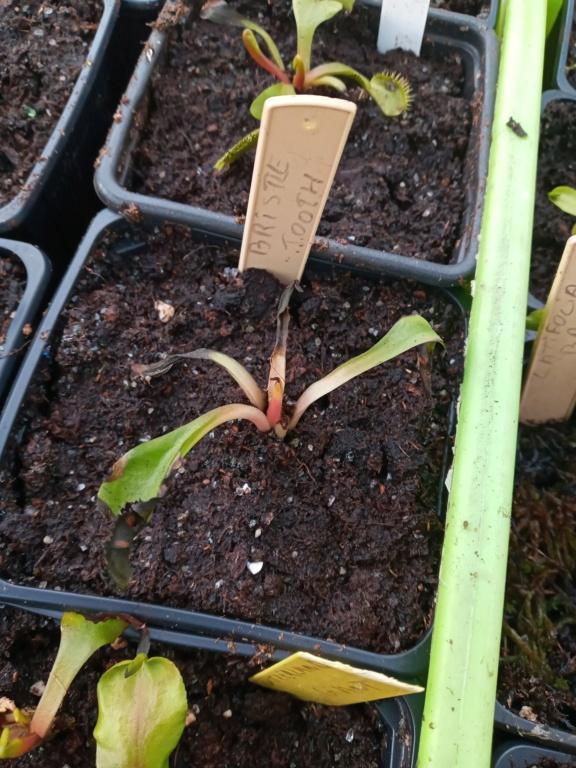 Dionaea et sarracenia a echanger 20210330