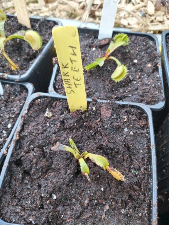 Dionaea et sarracenia a echanger 20210338