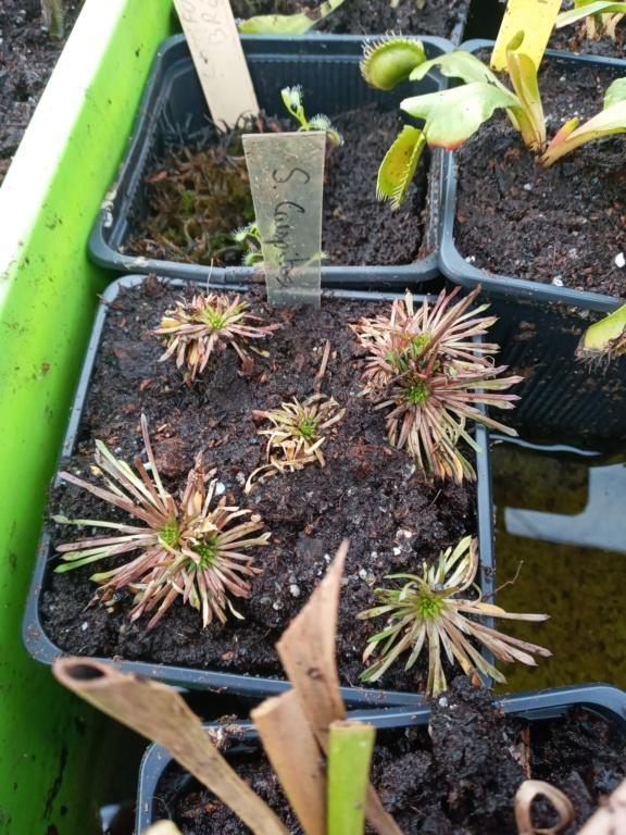Dionaea et sarracenia a echanger 20210348