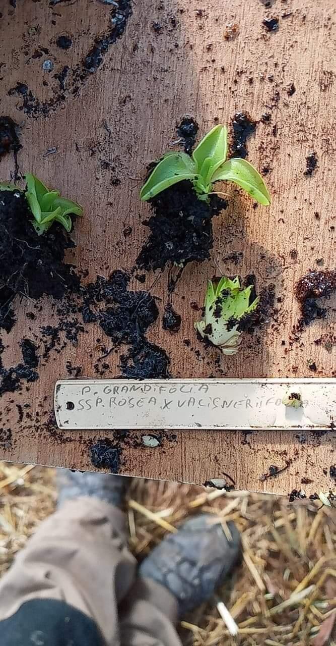 Dionaea et sarracenia a echanger Receiv10