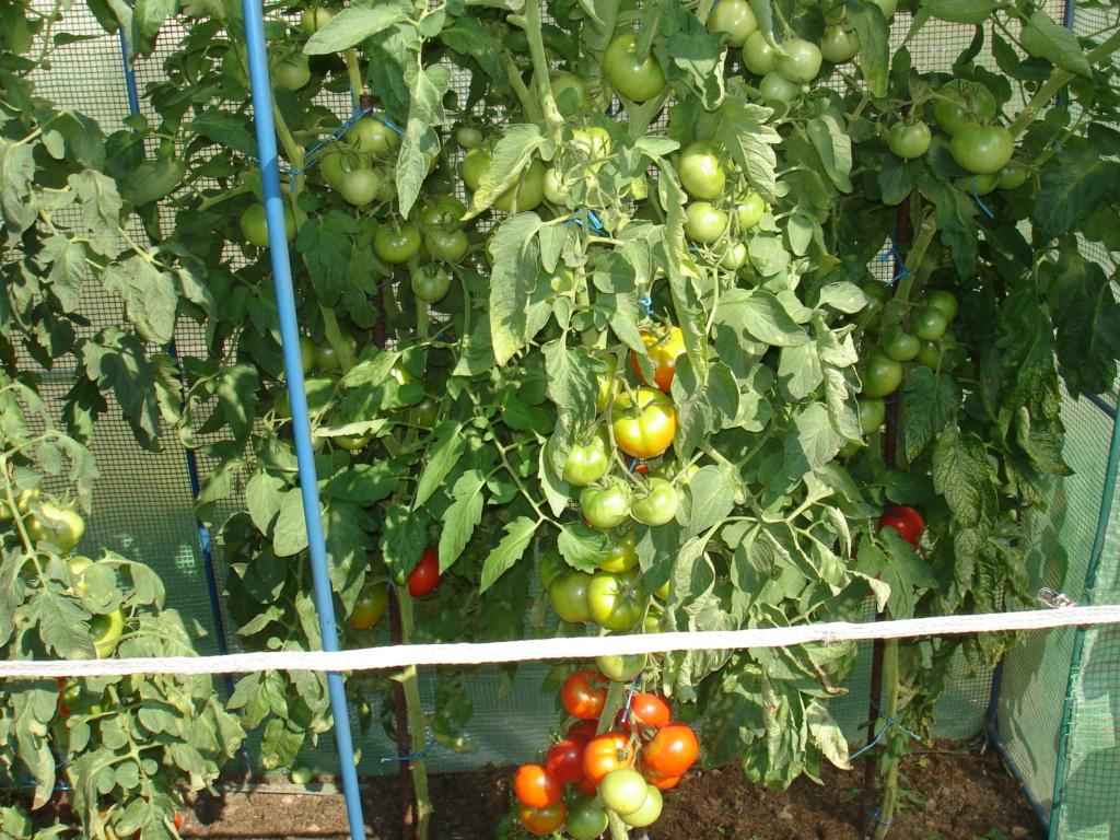 Tomates ROMA Dsc05411