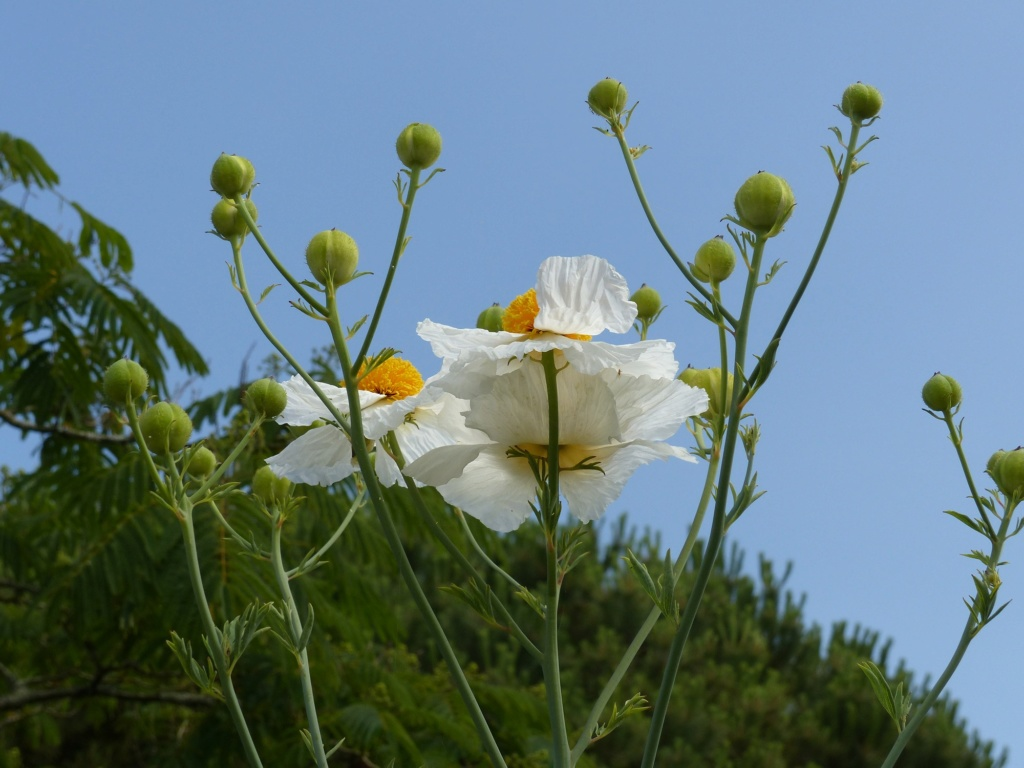 Romneya coulteri - Page 3 P1160710