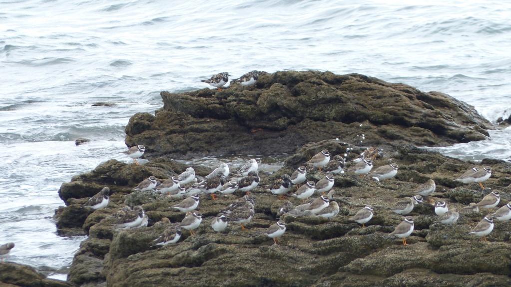 Les oiseaux sur la presqu'ile de Rhuys P1170513