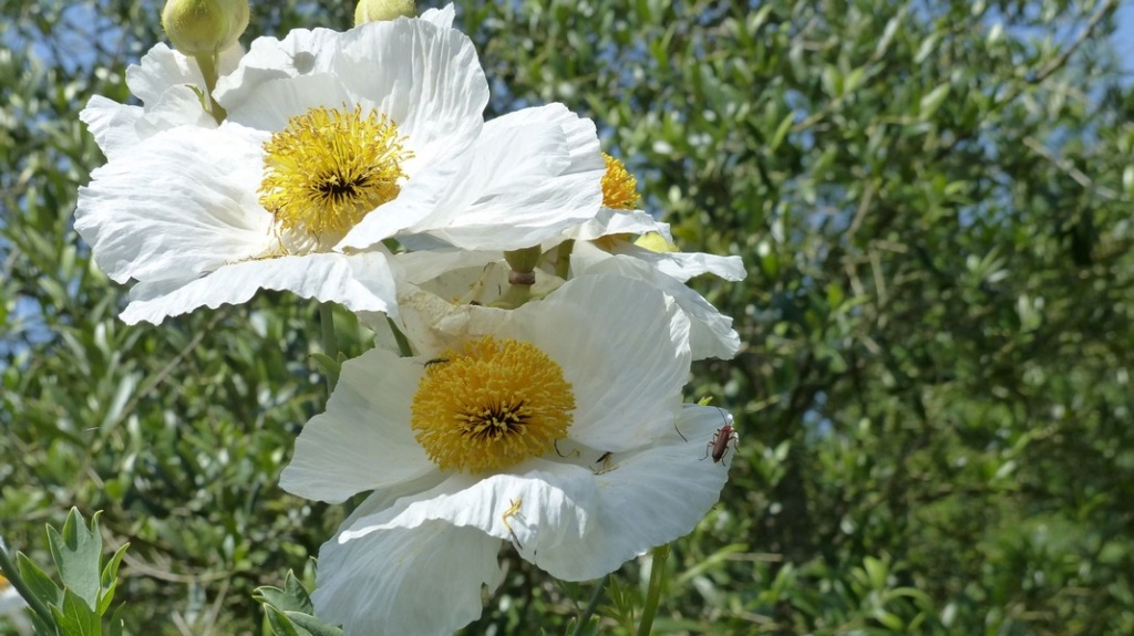 Romneya coulteri - Page 3 P1180110