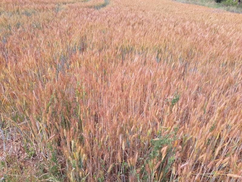 suivis blé 2020 - Page 6 20200614