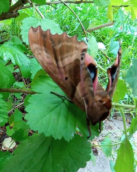 Papillon de nuit dans mon physocarpus 20210710