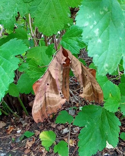 Papillon de nuit dans mon physocarpus 20210711