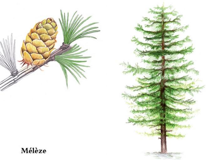 Jeu : Devinez l'arbre ! #2 - Page 7 Meleze11