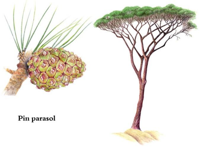 Jeu : Devinez l'arbre ! #2 - Page 9 Pin-pa10