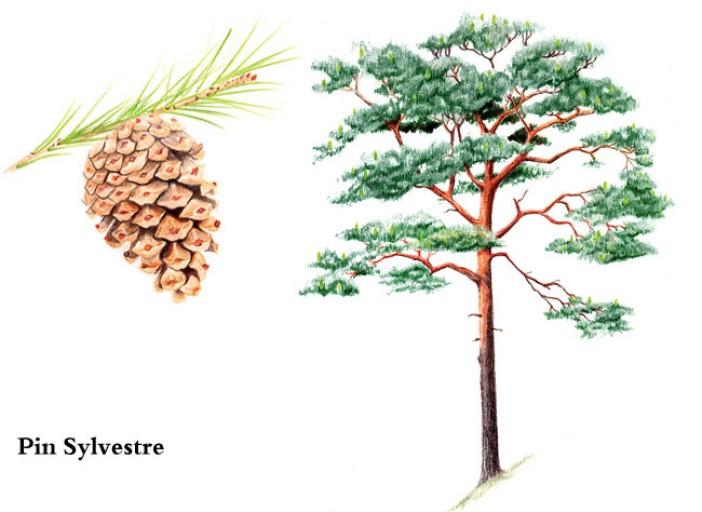 Jeu : Devinez l'arbre ! #2 - Page 7 Pin-sy10