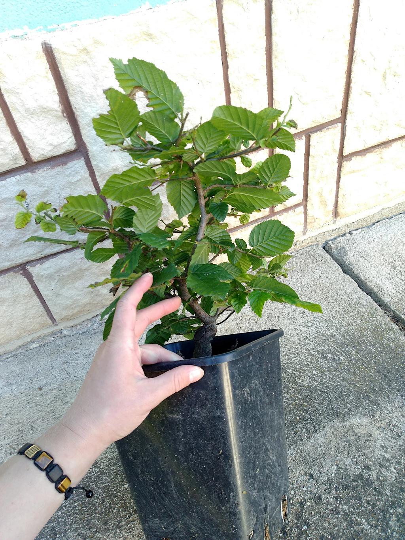 European hornbeam small seedling yamadori Img_2034