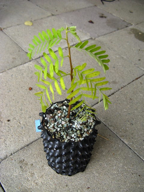 My very first plant - tamarind Img_8514