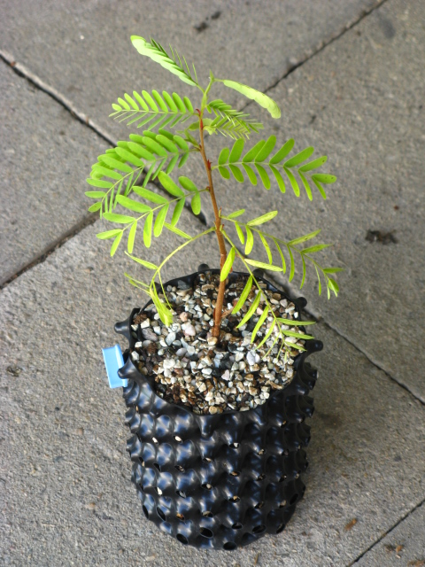 My very first plant - tamarind Img_8613
