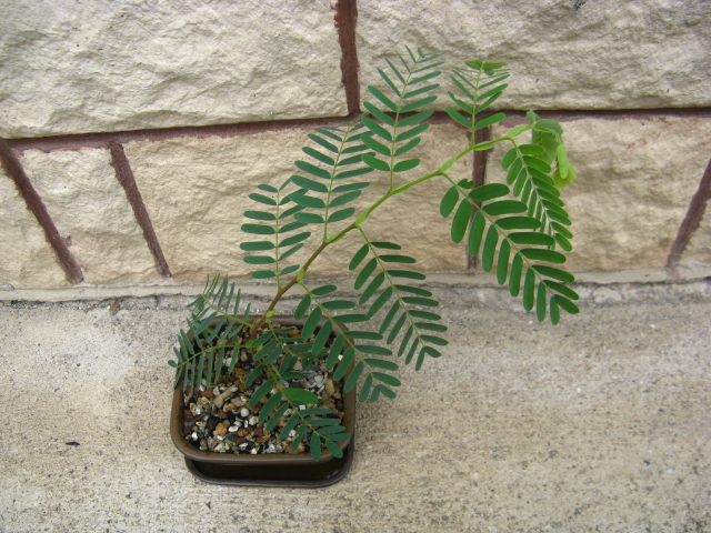 My very first plant - tamarind Img_8614