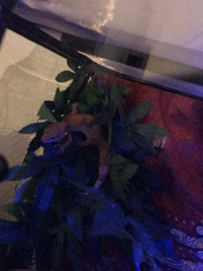 Mes 2 gecko léopard Img-2013