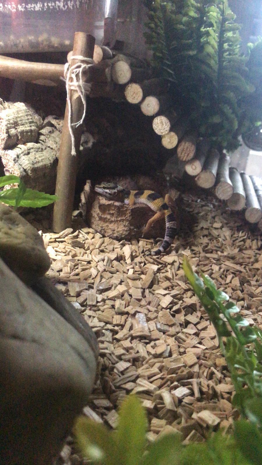 Mes 2 gecko léopard Img-2016