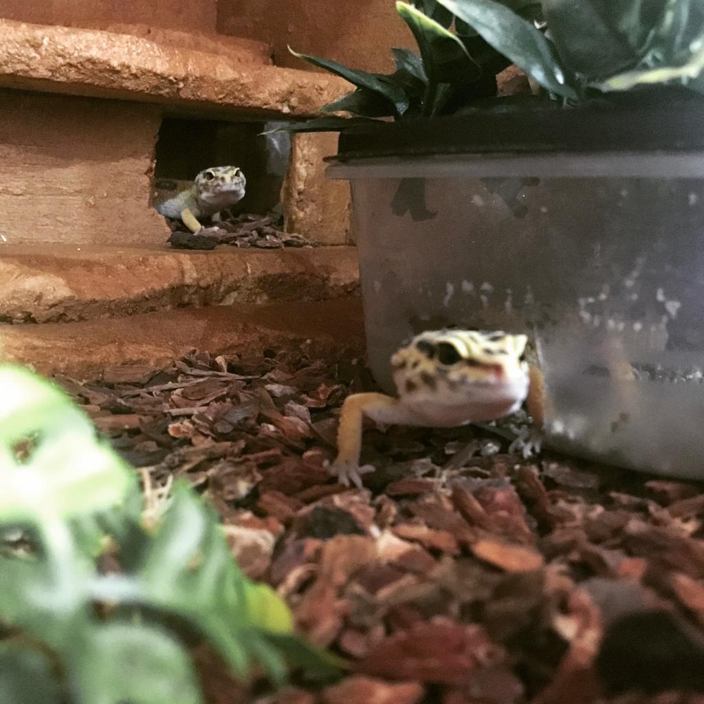 Mes 2 gecko léopard Img-2018