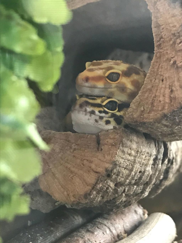 Mes 2 gecko léopard Img-2019