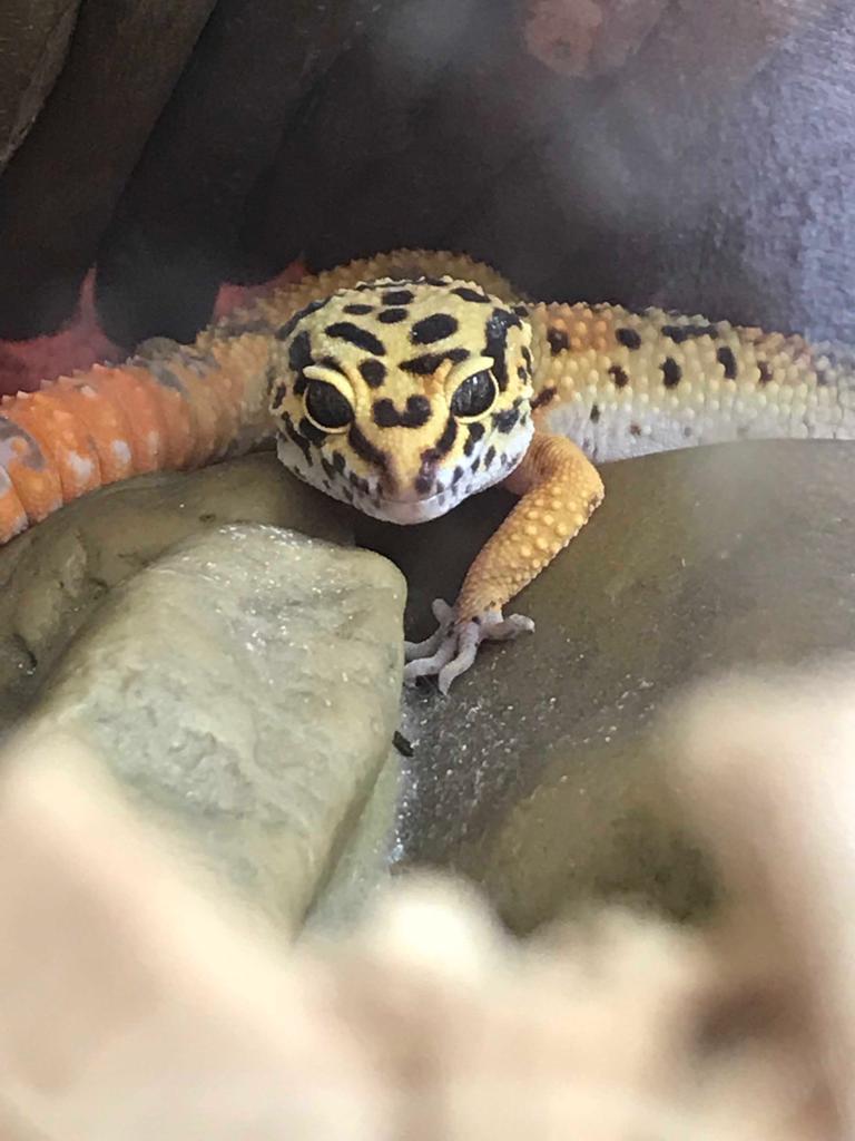 Mes 2 gecko léopard Img-2021