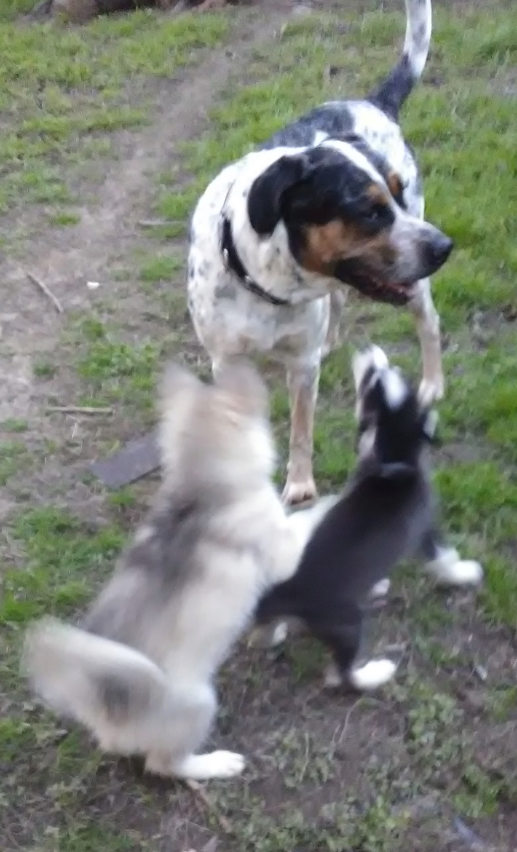 Nanook and Riley's scrap book, with big brother Balou and maybe Echo the cat Dogs_o12