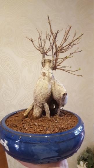 """Perdido con mi Ficus Retusa """"Ginseng""""... 26-03-10"""