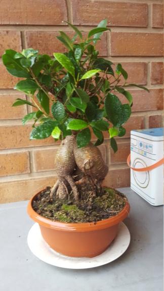 """Perdido con mi Ficus Retusa """"Ginseng""""... 29-01-10"""