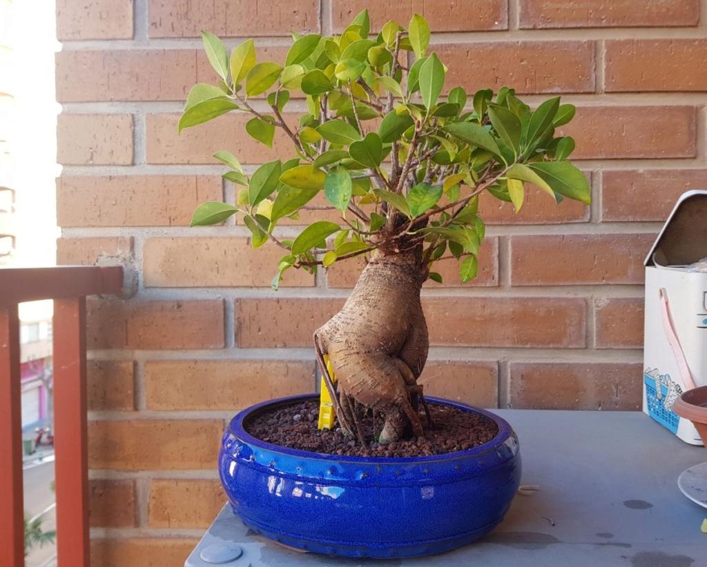 "Perdido con mi Ficus Retusa ""Ginseng""... Photo510"