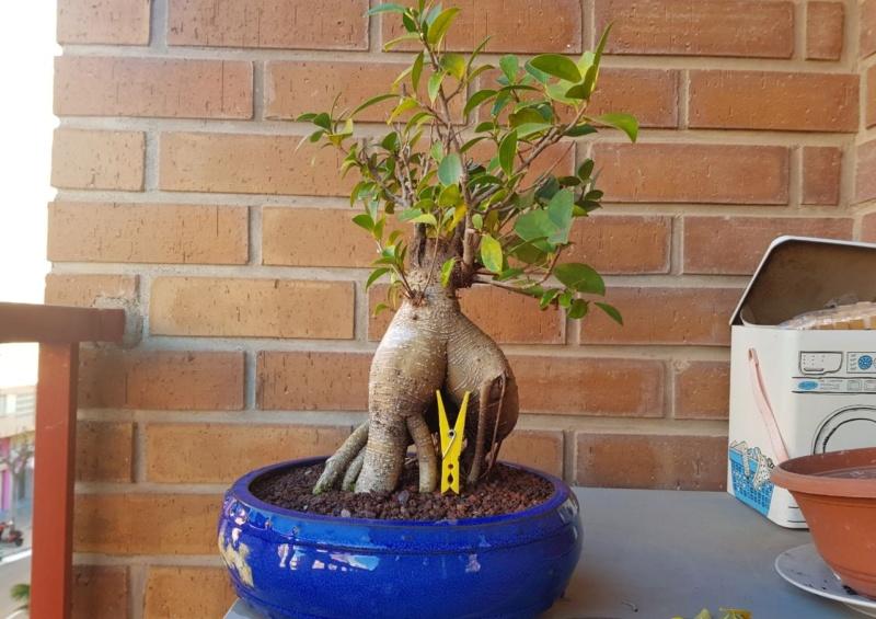 "Perdido con mi Ficus Retusa ""Ginseng""... Photo511"