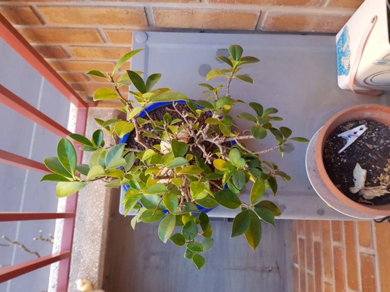 "Perdido con mi Ficus Retusa ""Ginseng""... Photo512"