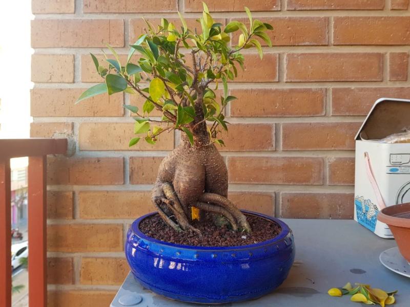 "Perdido con mi Ficus Retusa ""Ginseng""... Photo513"