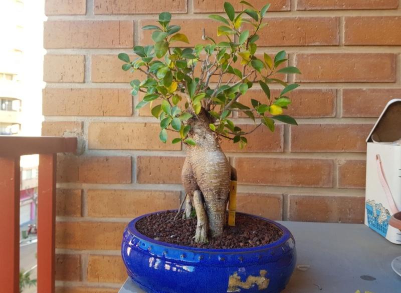 "Perdido con mi Ficus Retusa ""Ginseng""... Photo514"