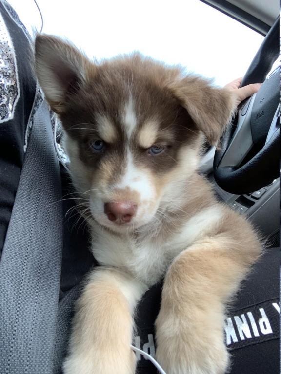 New Husky (Mix?) Puppy Member Img_2711