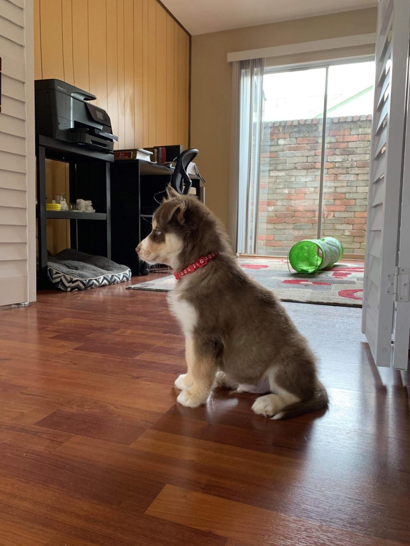 New Husky (Mix?) Puppy Member Img_2810