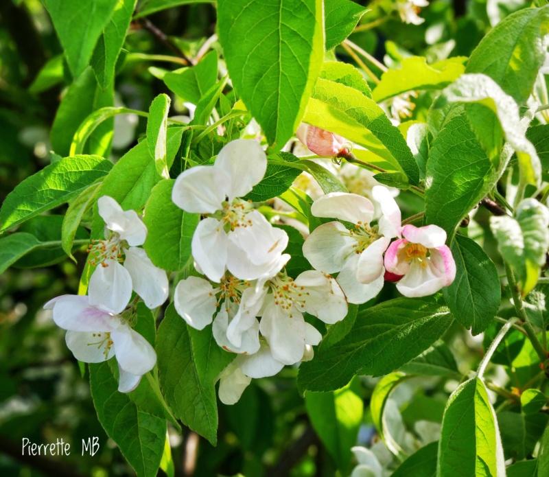 Fleurs de pommier 5bcb2110