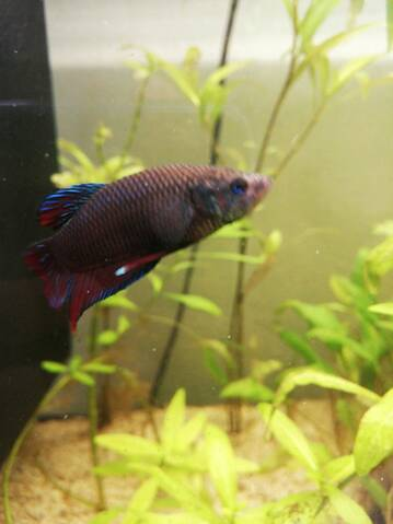 Reproduction betta imprévu ?... 20190710