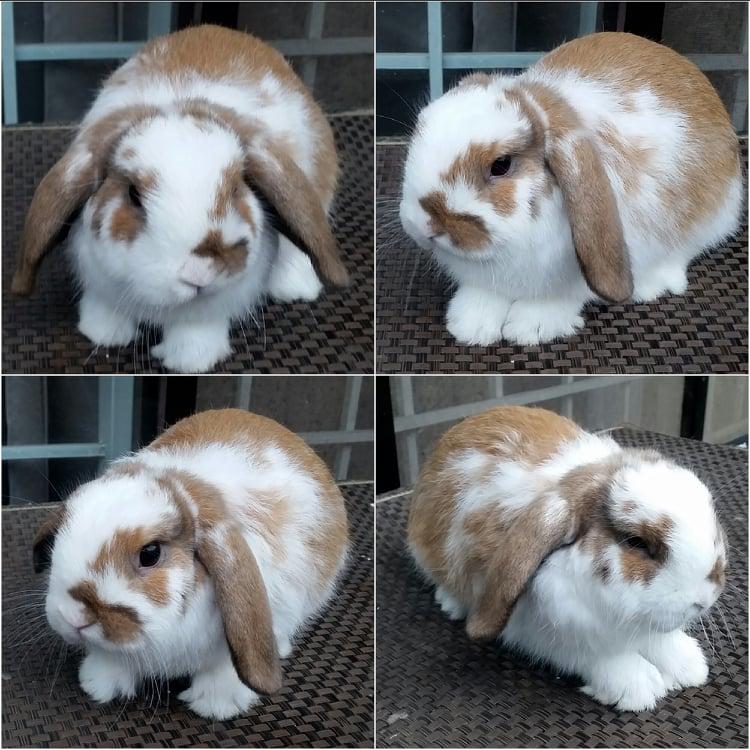 Pet Quality Holland Lop For Sale Pet_qu11