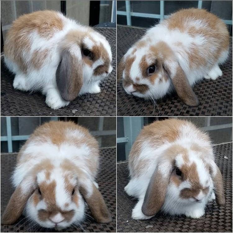 Pet Quality Holland Lop For Sale Pet_qu12