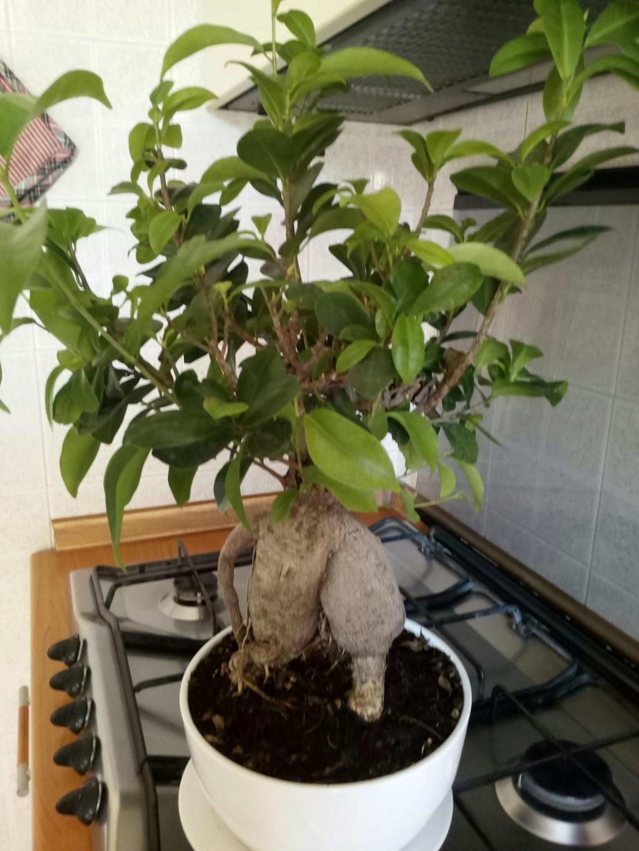 Aiuto..bonsai ginseng Img_2017