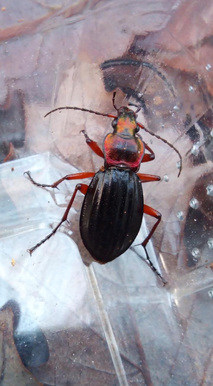 Suivi Carabus (Chrysocarabus) auronitens Img_2012