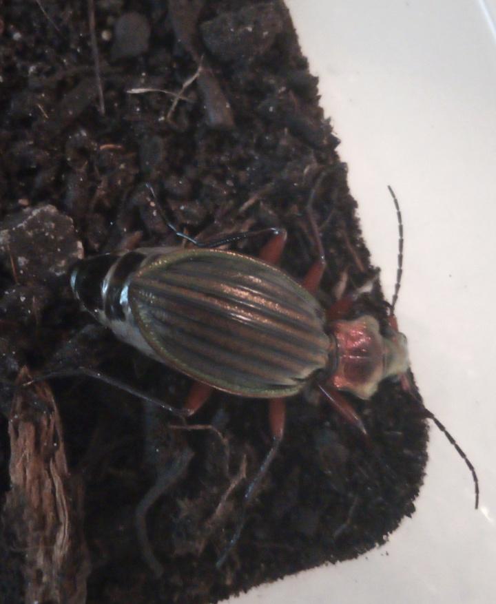 Suivi Carabus (Chrysocarabus) auronitens Img_2016