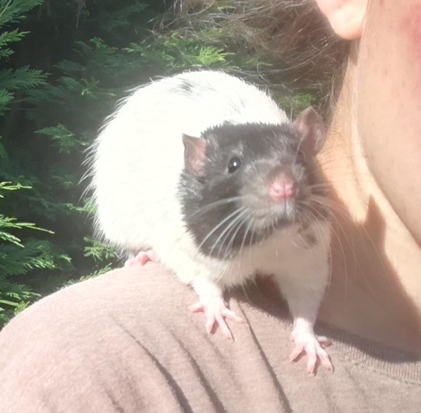 3 petits rats mâles nés le 12 mars 2021 à adopter à Villeneuve-d'Ascq  Img_2041