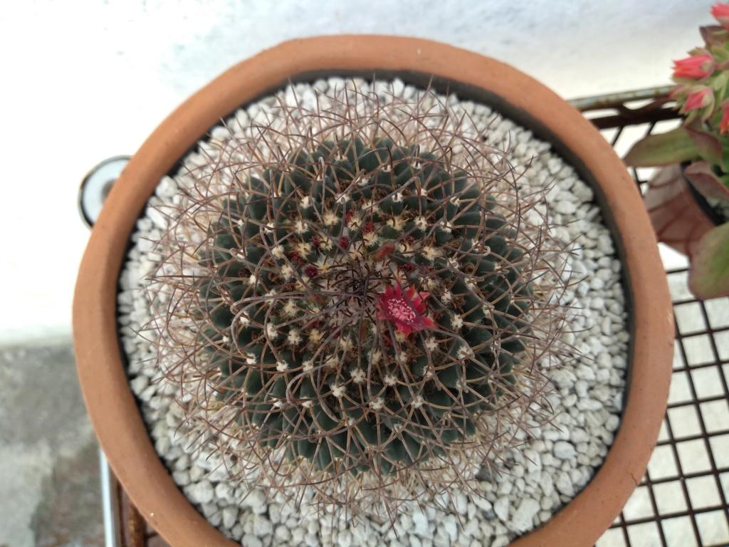 4 Mammillarias to identify Img_2010
