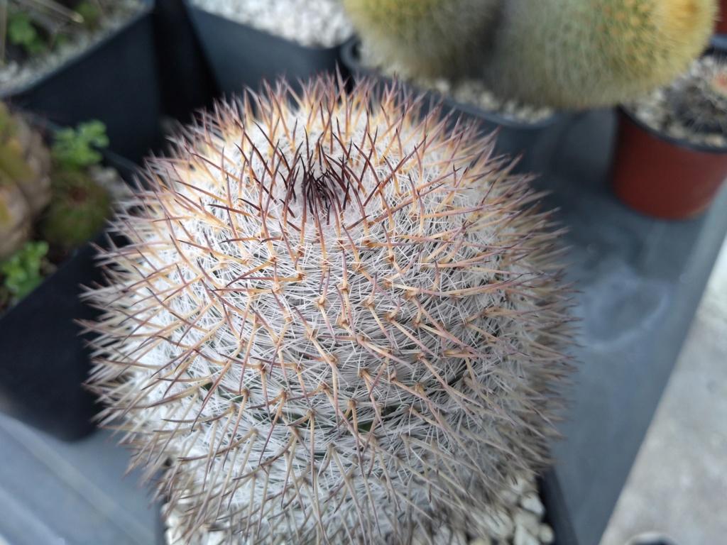 4 Mammillarias to identify Img_2020