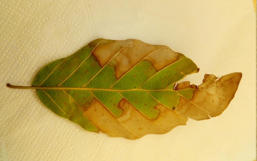 foglie faggio P_202010